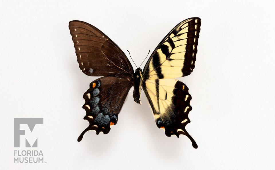 Eastern Tiger Swallowtail Gynandromorph