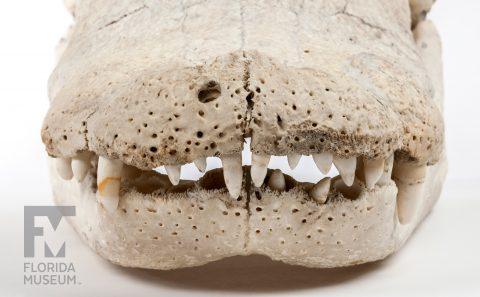 Albert's Skull