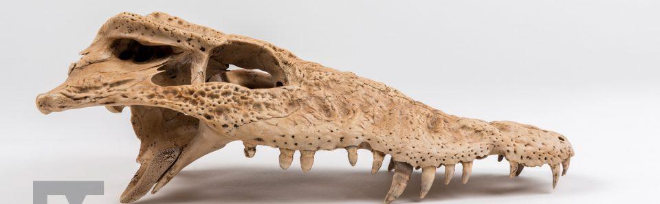 Cuban Crocodile Skull