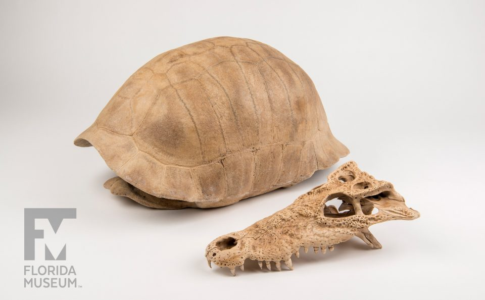 Cuban Crocodile Skull & Albury's Tortoise Shell