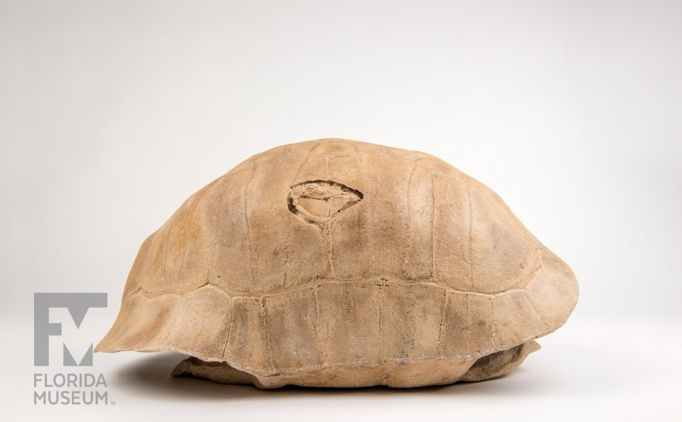 Albury's Tortoise Shell