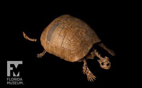 Dwarf Tortoise