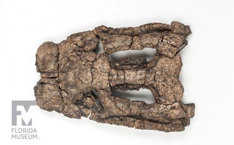 Blunt-snouted Dyrosaurid Skull
