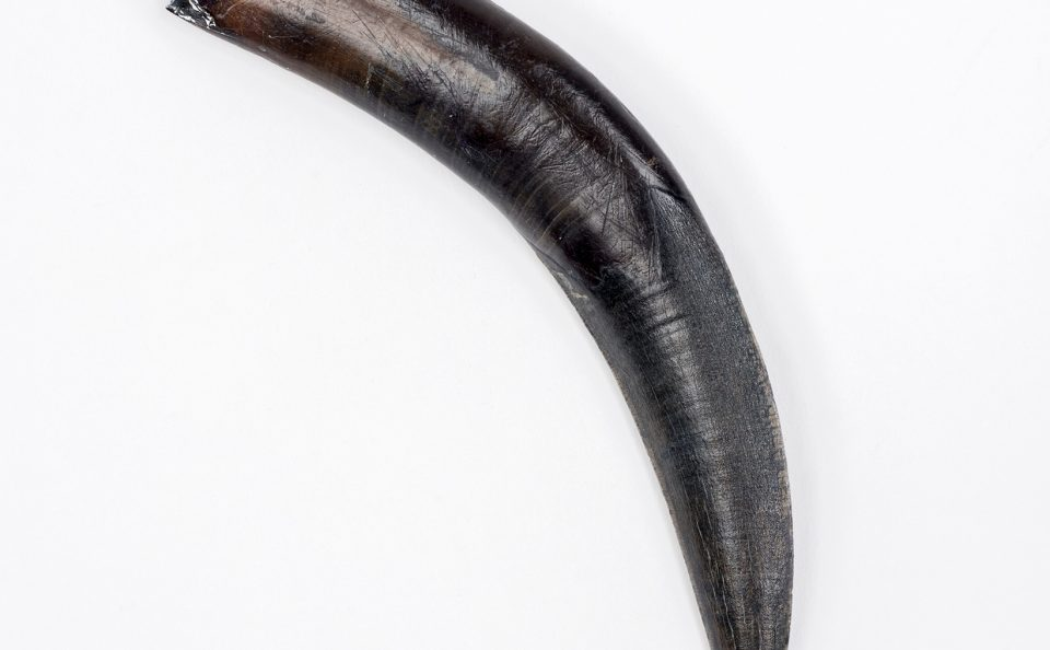 Saber-toothed Cat Tooth