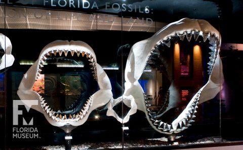 Miocene Megatoothed Shark
