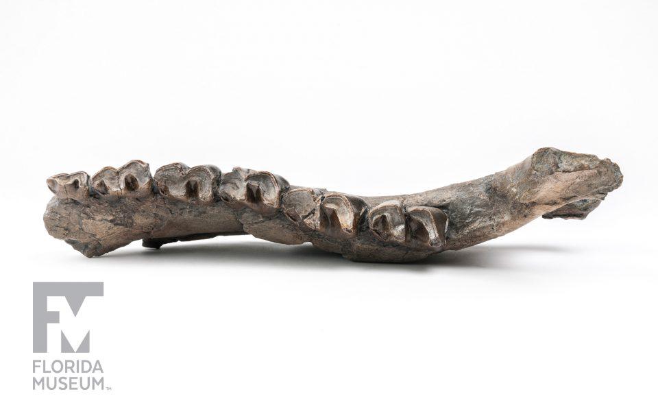 Panama Rhino