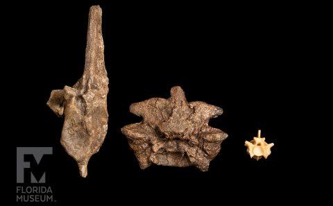 Variety of vertebrae