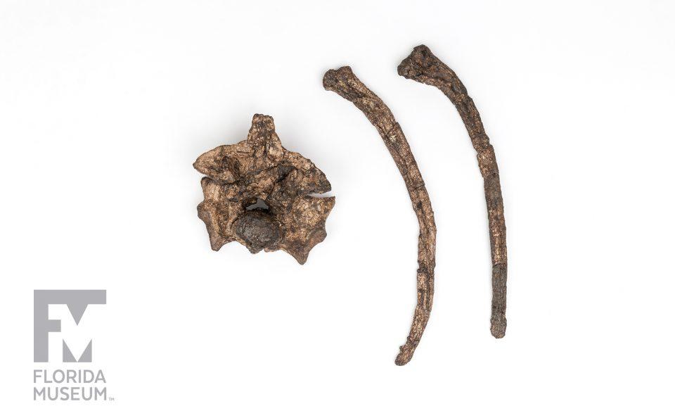 Titanoboa Vertebra and Ribs