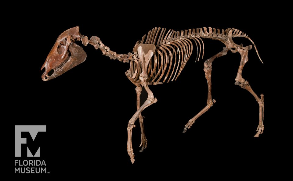 Three-toed Transitional Horse