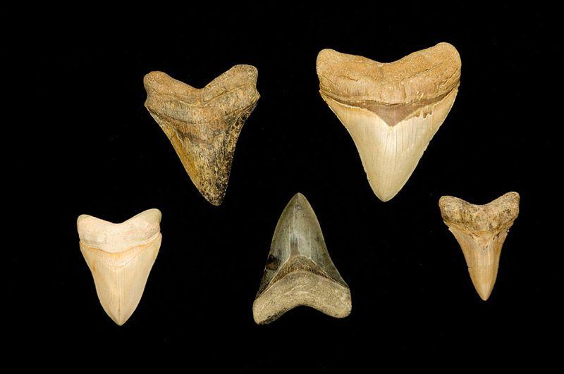 Megalodon teeth fossils