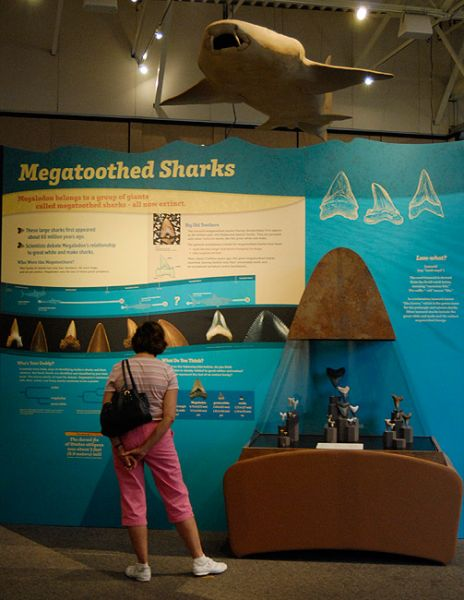 Megatoothed shark display with fossil teeth