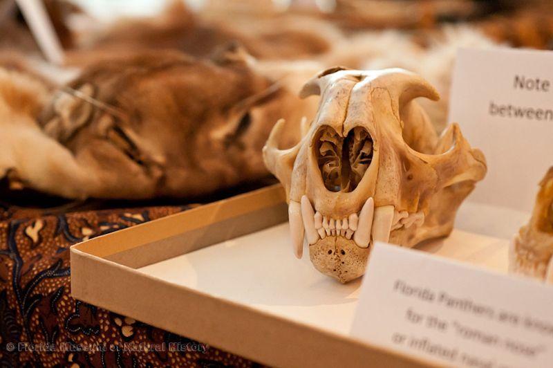 panther skull
