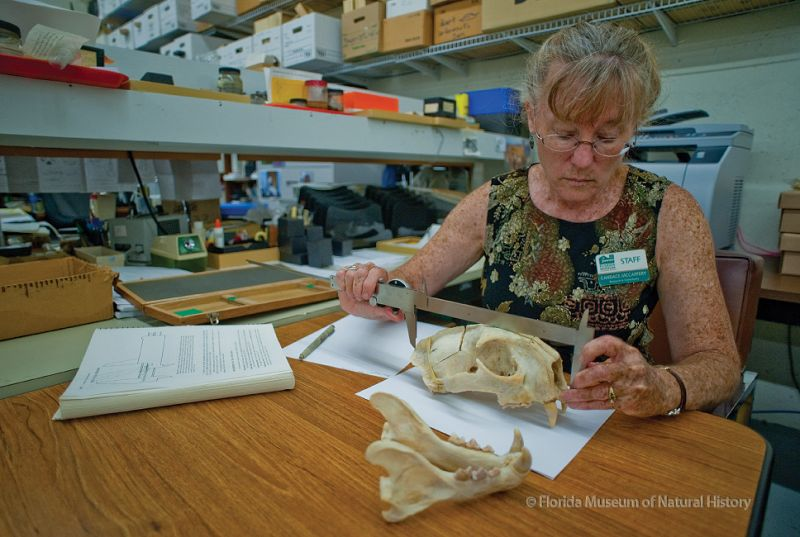researcher measuring panther skull