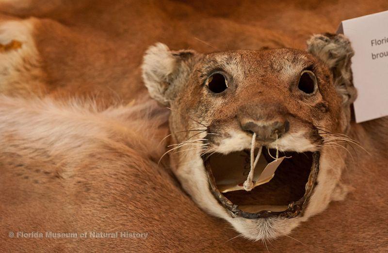 panther pelt