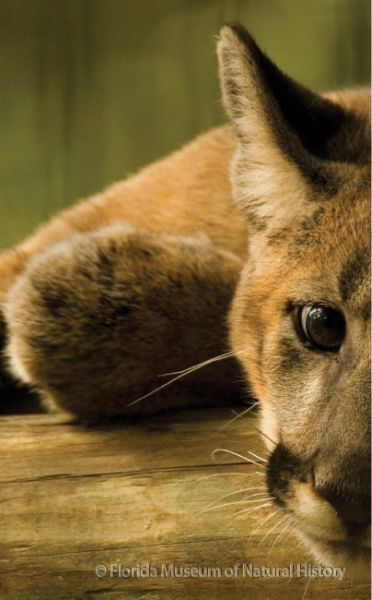 Florida panther at rest