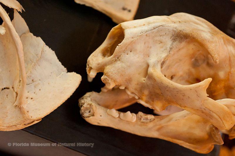 specimen skull
