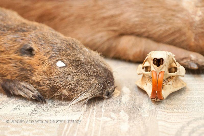 beaver specimen