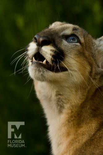 Florida panther profile