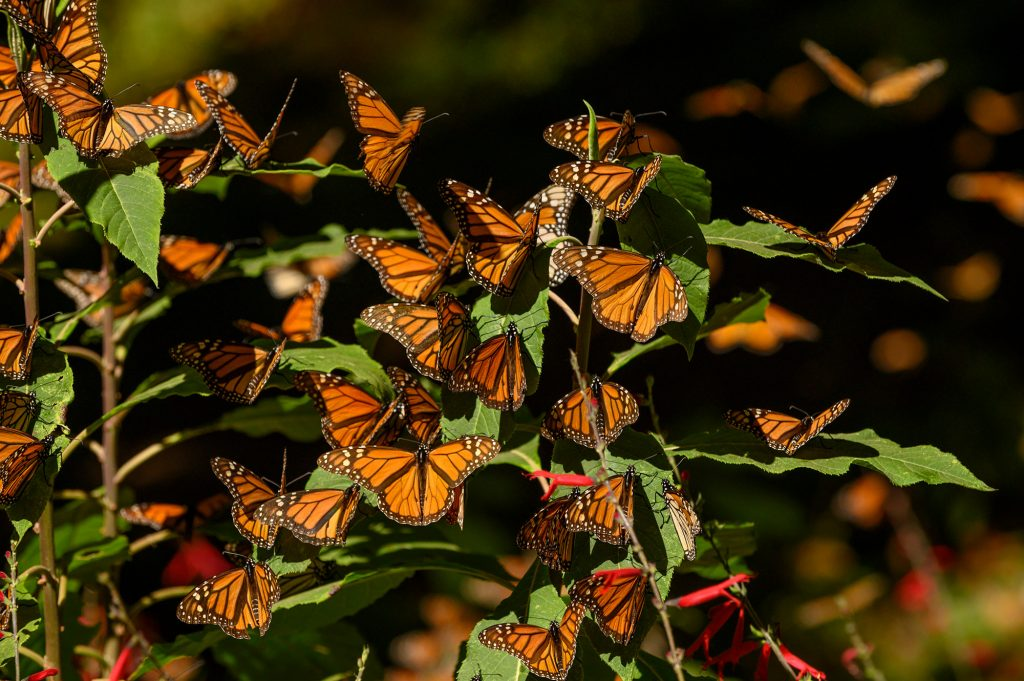 many monarch butterflies on a branch