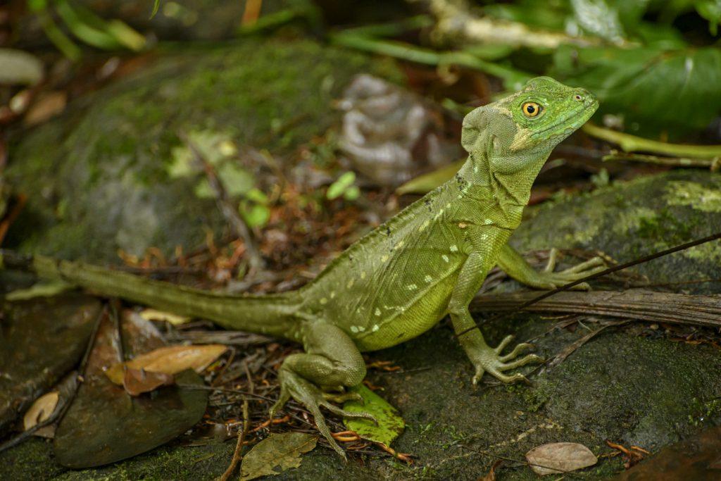 A basilisk lizard at the Selva Verde Lodge in Costa Rica.