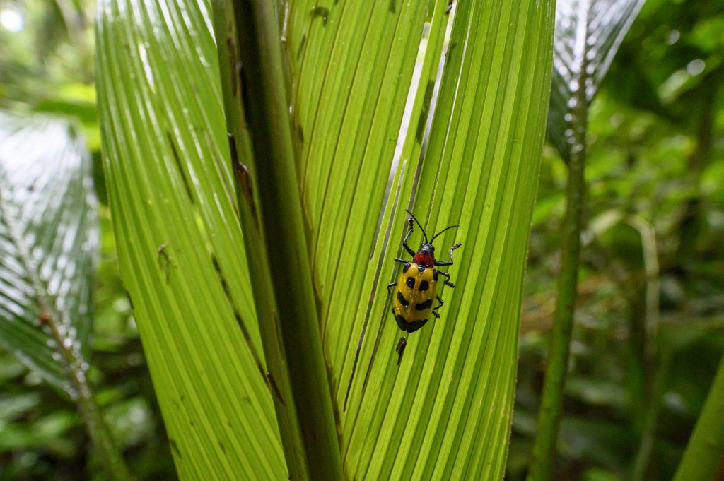 A yellow beetle with black spots on a palm frond in a rainforest in Costa Rica.