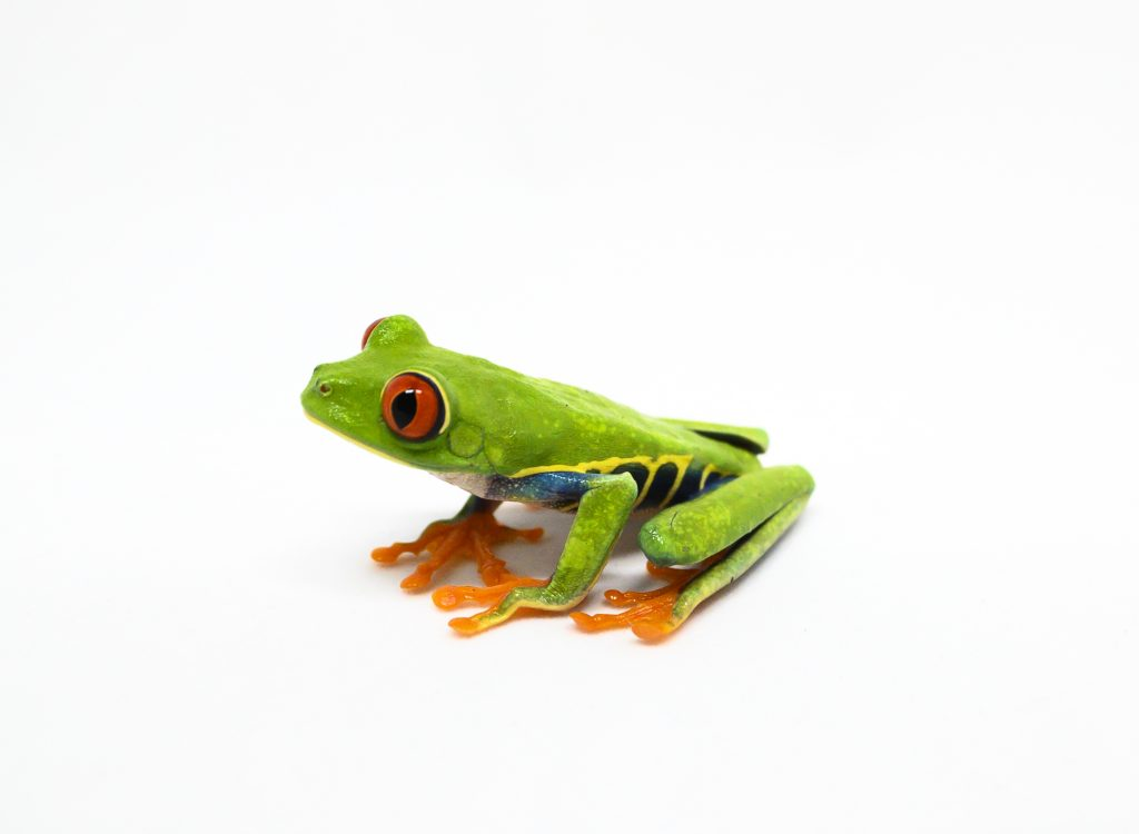 Red eyed tree frog photographed on white.