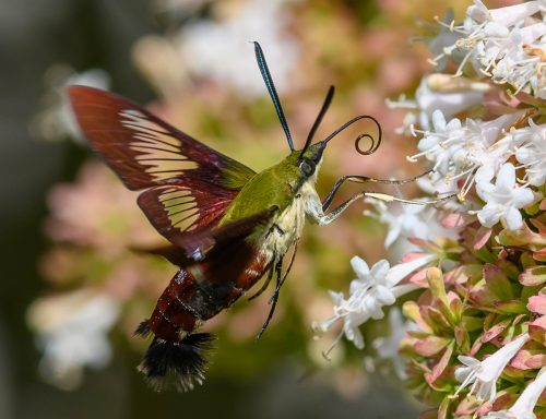 large moth feeding on a tuft of tiny flowers