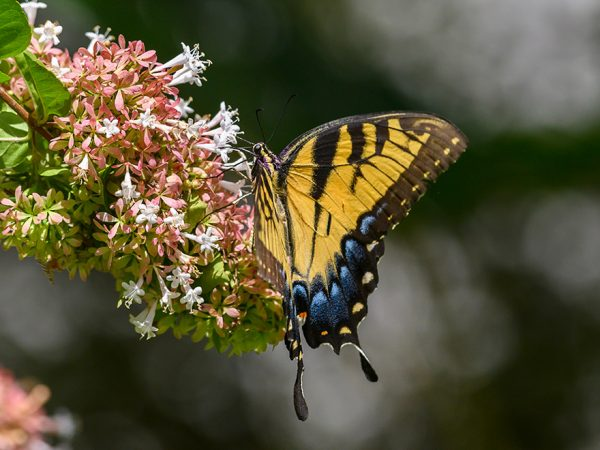 large elaborate butterfly feeding on a tuft of tiny flowers