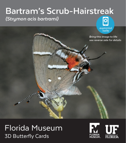 Bartram's Scrub-Hairstreak butterfly 3D card