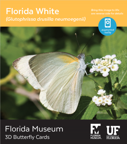 Florida White butterfly 3D card