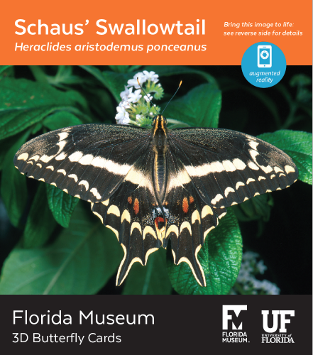 Schaus' Swallowtail butterfly 3D card