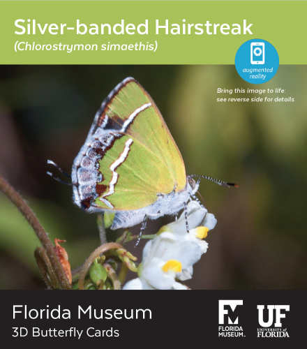 Silver-Banded Hairstreak butterfly 3D card
