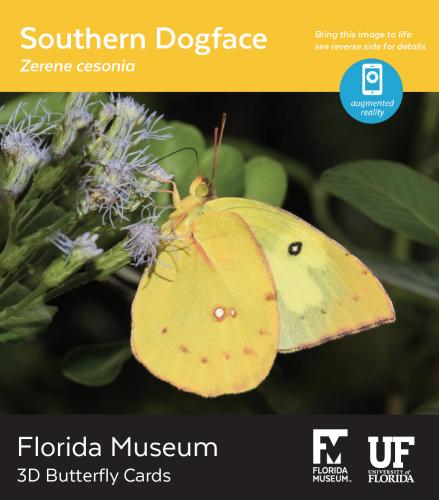 Southern Dogface butterfly 3D card