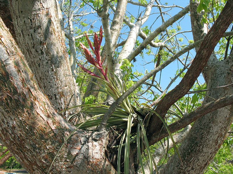 Native bromeliad in bloom 5-13-08
