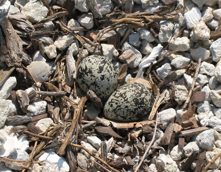 Killdeer eggs laid in our parking lot 5-13-08