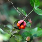 red seeds and fruit on green foliage