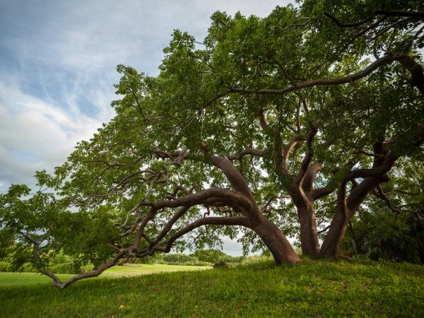 Triple-trunked Gumbo Limbo tree.