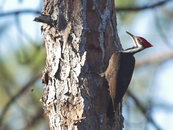 Pileated Woodpecker searching for worms in a pine tree.