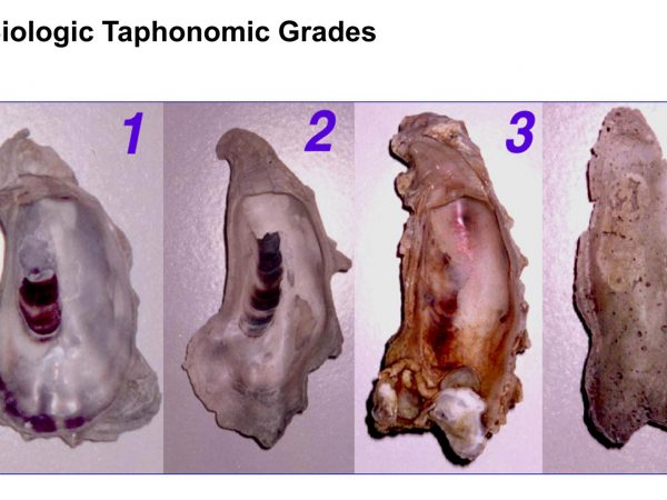 intierior of oysters showing various Biologic Taphonomic grades