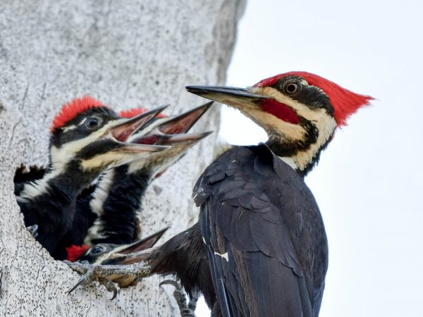 Adult pileated woodpecker feeds three young pileated woodpeckers