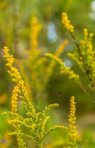 bee flys above goldenrod flowers