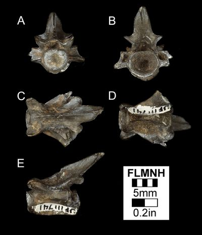 Figure 2. UF 111741, Fossil vertebra of Batrachosauroides dissimulans from Gunn Farm Mine, Gadsden County, Florida in A) anterior, B) posterior, C) dorsal, D) ventral, and E) lateral views.