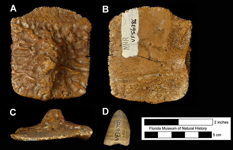 Figure 2. Typical fossils of Alligator mississippiensis; an osteoderm in A) dorsal, B) ventral, and C) lateral views, and D) an isolated tooth in side view. Osteoderm is UF 56386, North Havana Road Site; tooth is UF 56705, C.C.E. Trailer Park Site. Both are late Pleistocene localities in Sarasota County, Florida.