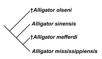 Figure 5. Hypothesis of the evolutionary relationships of selected species of Alligator, after Hastings et al. (2013).