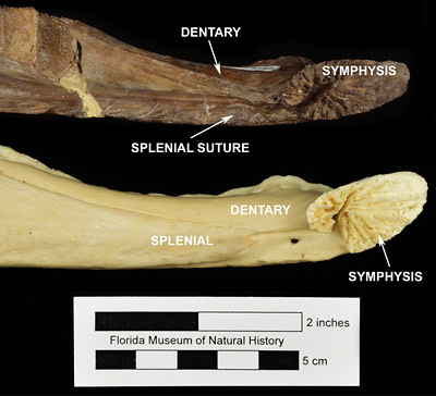 Figure 3. Comparison of the left mandibles of UF 176192, Alligator olseni (top), and UF 147700, Alligator mississippiensis (bottom). Note the preserved suture lines indicating participation of the splenial bone in the mandibular symphysis in Alligator olseni and the exclusion of the splenial bone from the mandibular symphysis in Alligator mississippiensis.