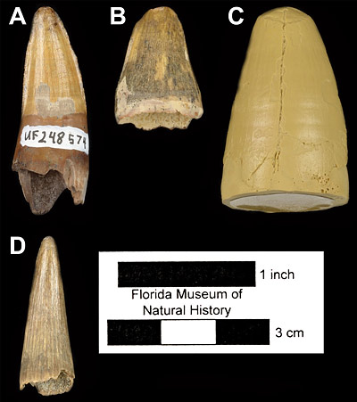 Figure 5. Comparison of fossil crocodylian teeth from Miocene localities in Florida and Texas. A, UF 248574, Alligator olseni tooth from the Thomas Farm type locality in Florida. B, UF/FGS 10991, Alligator olseni tooth from the Seaboard locality in Florida. C, LSUMG/V-2255, cast of tooth referred to Alligator olseni from the Toledo Bend locality in Texas. D, UF/FGS 10992, Gavialosuchus tooth from the Seaboard locality in Florida. All images appear in lingual view. Note the different shape and texture of the Gavialosuchus tooth compared to the Alligator teeth, as well as the size disparity between the Florida and referred Texas Alligator teeth.