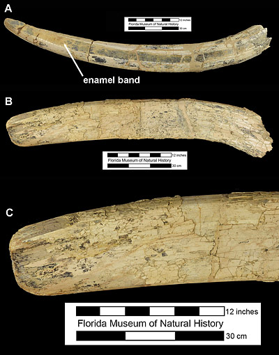 Figure 4. Upper and lower tusks of Amebelodon britti from the Moss Acres Racetrack Site, Marion County, Florida. A, lateral view of UF 69994, upper tusk with enamel band indicated. B, dorsal view of UF 97269, lower tusk. C, close-up of distal end of UF 97269.