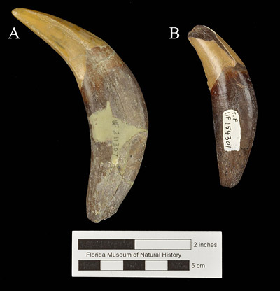 Figure 3. Right lower canine teeth of Amphicyon longiramus from Thomas Farm demonstrating sexual dimorphism in body size. A, UF 271019, male; B, UF 154301, female.