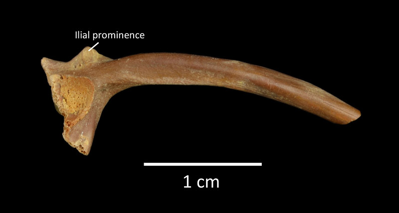 Figure 4. UF 222915, right ilium of Bufo defensor from Inglis 1A in lateral view, anterior to the right.