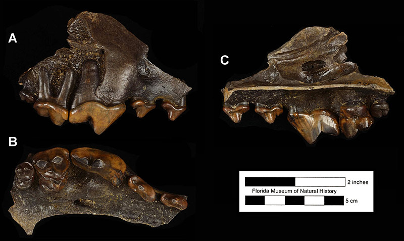Figure 3. UF 3988, right partial maxilla of Canis dirus with P2-M2 from Hornsby Springs, Alachua County, Florida; late Pleistocene. A, lateral view; B, ventral (occlusal) view; C, medial view.